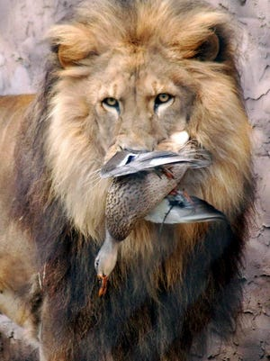 In this Feb. 23, 2008 photo, Brutu the lion holds a captured duck in his mouth at the Cape May County Park and Zoo, in Cape May Court House, Middle Township, N.J. The 16-year-old lion was euthanized Friday, May 23, 2014, due to age-related arthritis and spinal cord issues, according to The Press of Atlantic City. (AP Photo/The Press of Atlantic City, Michael Miller) MANDATORY CREDIT