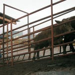 Complex world of border trade: Cattle go north, meat south