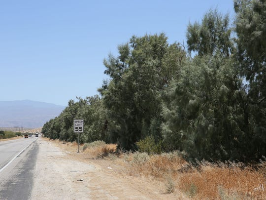 A row of tamarisk trees line a street in Desert Hot Springs. The body was found on the other side of this tree line in 1972.