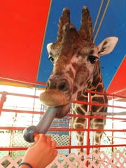Twiggs the giraffe eats a carrot during the last day of the Delaware State Fair in Harrington.