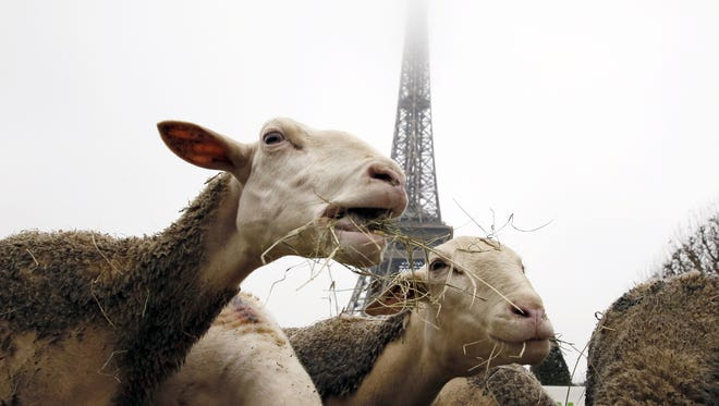 Sheep graze at the Champ de Mars near the Eiffel Tower in Paris during a protest by farmers.