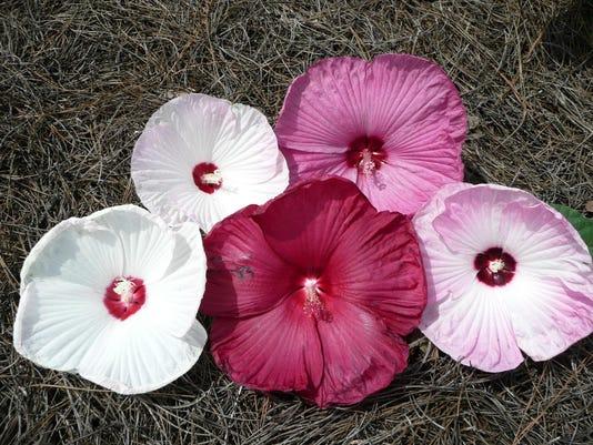 luna hibiscus.jpg
