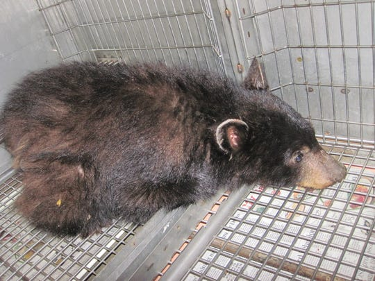 This bear cub, that was picked up by Oregon State Police over the weekend, showed no fear of humans and is likely headed to a zoo.