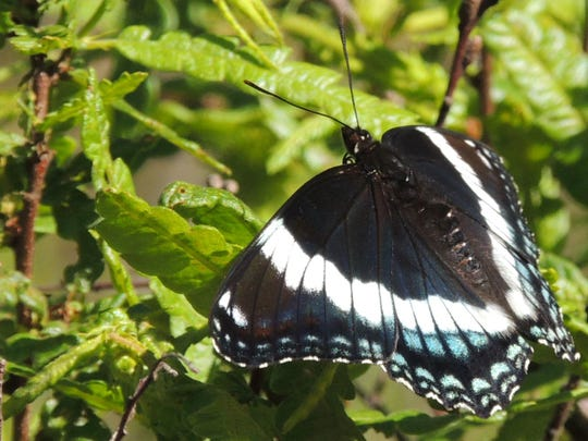 A sharp-dressed white admiral patrols his territory, waiting for a passing female. These are woodland butterflies and can often be seen along sandy forest roads.