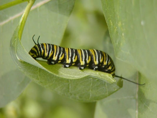 SECOND_Monarch larv HaydaszB S8300013