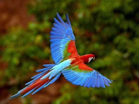 This colorful wild parrot soaring through the air is