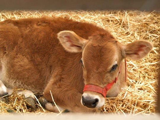 Mosley's Calf: bring children to pet the new farm animals babies.