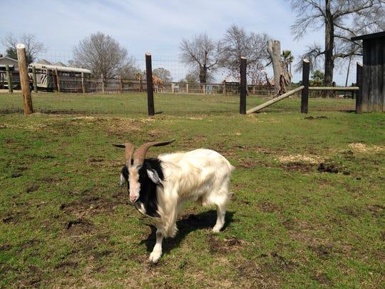 VA the goat roams around his enclosure Monday at Gone Wild Safari.