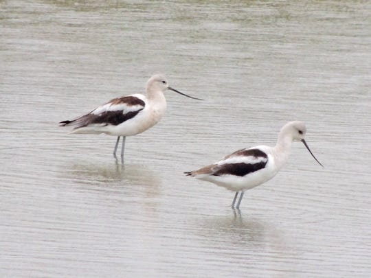 Be on the lookout for migrating shorebirds in fall, such as these elegant American Avocets, seen recently on the pond near the Coneflower Trail. Migrating songbirds, wetland birds and birds of prey follow the Lake Michigan shores on their journey south, traveling through Woodland Dunes Nature Center in large numbers.