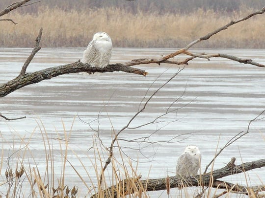Snowy owls move south into Wisconsin and the northern states each fall, often remaining into mid to late March when they return to their Arctic breeding grounds to nest.