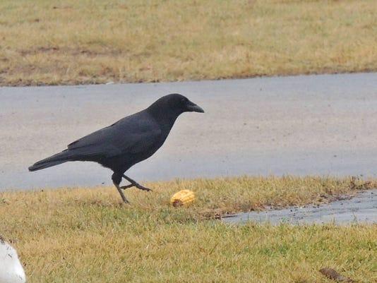 APC 122914 Yard MD BLOG-crafty crow 1.JPG