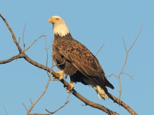 Bald eagles patrol the shores for prey including fish, weak and injured waterfowl and more. The birds are seen in increasing numbers each year as the population of nesting eagles continues to grow in Wisconsin.