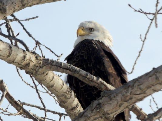 APC 011915 Yard MD BLOG-eagle days 1.JPG