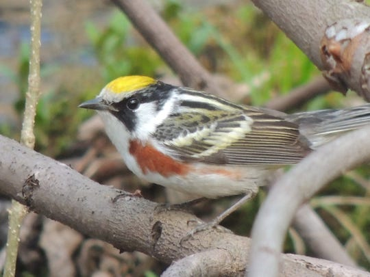 Warbler migration, the highlight of spring for many nature lovers in our area, peaks during the second week of May. As many as 30 species of these tiny, colorful birds sweep through our state in mixed flocks that fill the early morning forest with bustling activity and sweet song. The chestnut-sided warbler is a favorite of many.