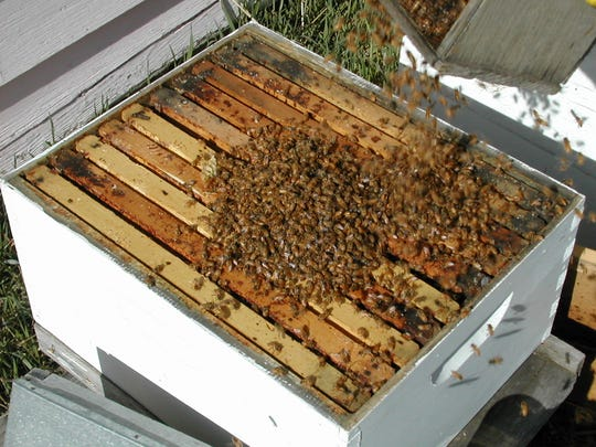 Dumping a package of bees on a hive.