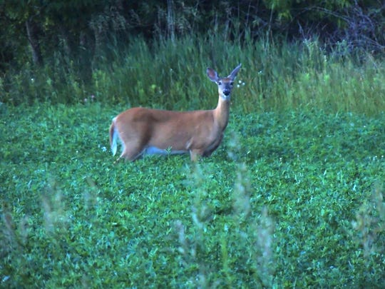 Whitetail deer are taking advantage of hay and other high-protein greens in farm country. Though they're commonly seen in the low-light hours much of the year, mosquitoes and other biting pests are driving them from cover at all hours of the day.