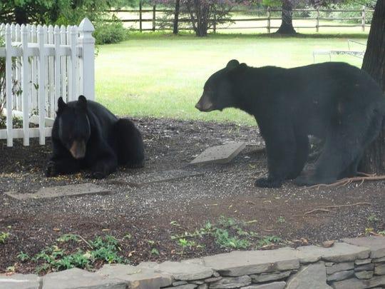 Two bear cubs enjoy sunflower seeds from a Chester Township backyard birdfeeder.