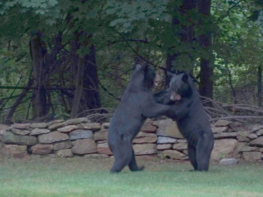 While black bears are generally solitary creatures, litter mates like these may play and travel together for a short time until they split up. Photo taken in Chester, August 2014.