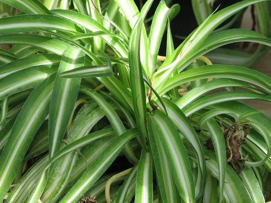 The Spider plant is easy to grow and non-toxic to cats.