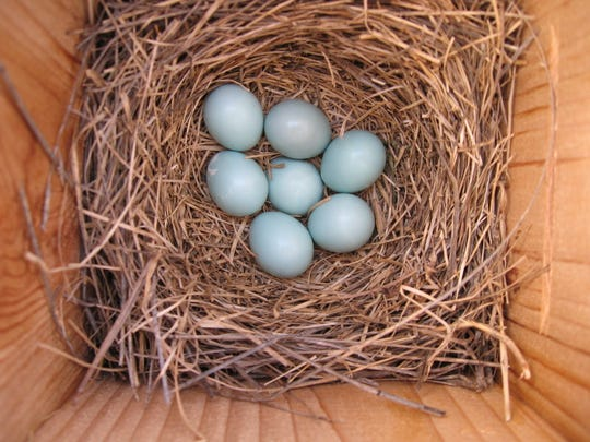 Bluebird eggs are seen in a nesting box, below. Submitted photos