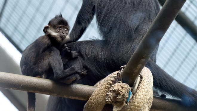 A baby langur born on May, 7, named Yuki, clutches onto its mother at Mesker Park Zoo and Botanic Garden in Evansville Wednesday.  Nearly half of the animals at Mesker Park Zoo could be removed next year if the zoo looses its status as an accredited zoo due to deferred maintenance issues.