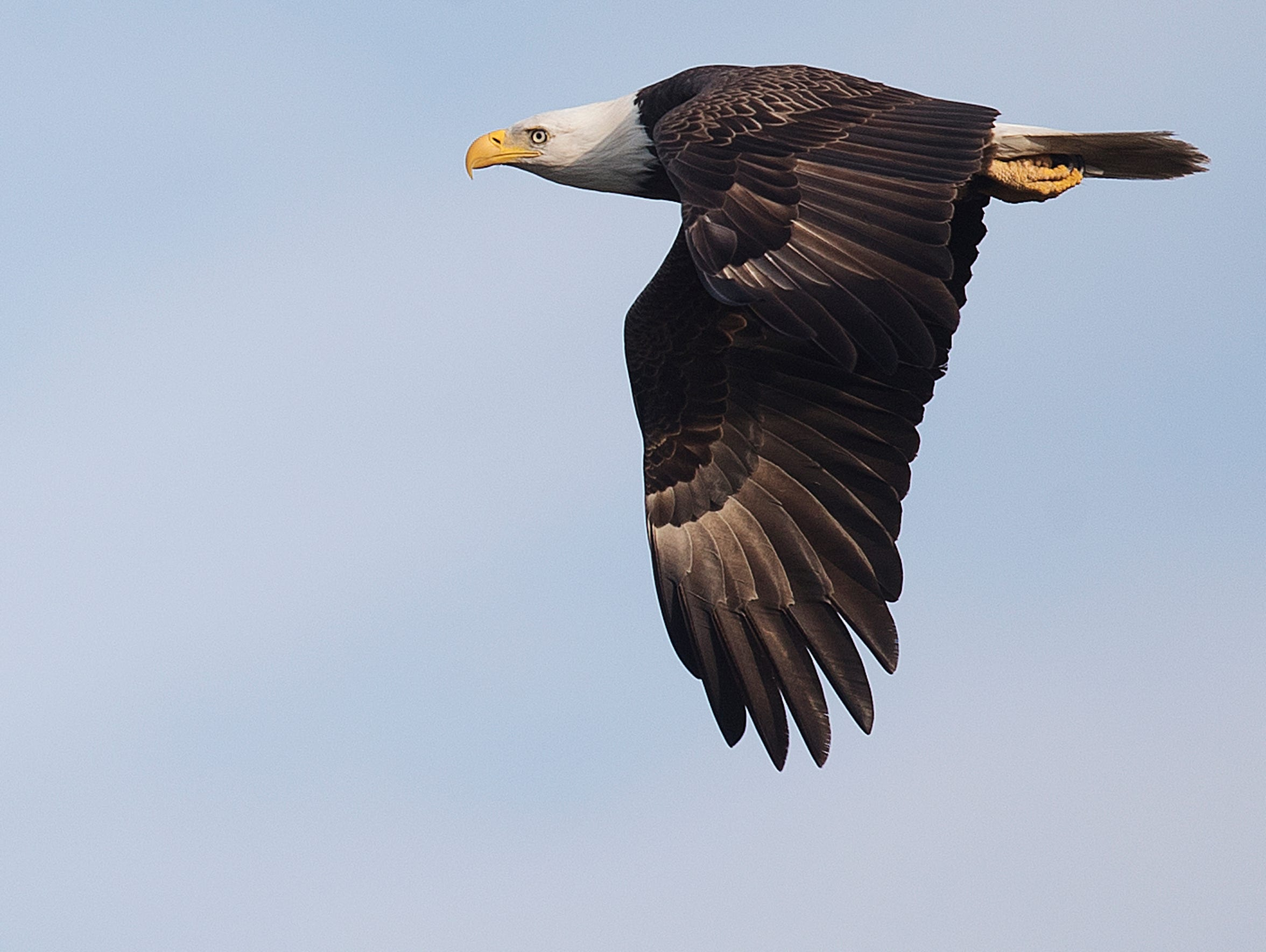 A bald eagle flies over Boggy Creek outfitters on Lake