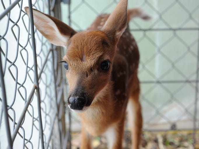 A  fawn checks out its surroundings Wednesday at a pen at a licensed wildlife rehabilitator's home. Wildlife officers with the Arkansas Game and Fish Commission are reminding people that it is illegal to keep a fawn.