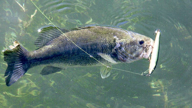 The injured minnow appeal of a twitch bait will tempt many fish into striking.