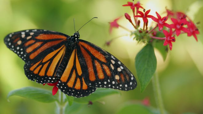 A Monarch butterfly at the the Butterfly Estates in Fort Myers in 2010.