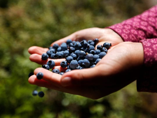 A girl holds a handful of wild blueberries picked near Sherman, Maine.