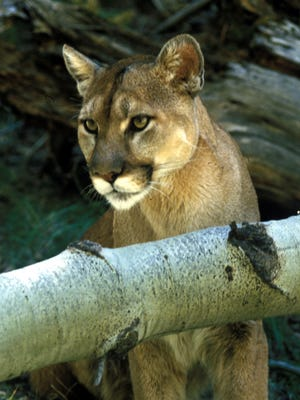 A mountain lion is pictured in an undated courtesy photo from New Mexico Department of Game and Fish.