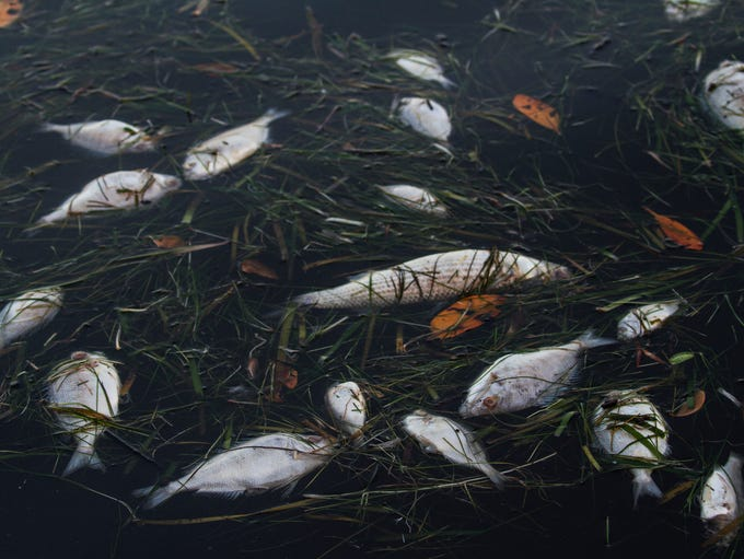 Dead fish are visible floating near a dock in Matlacha