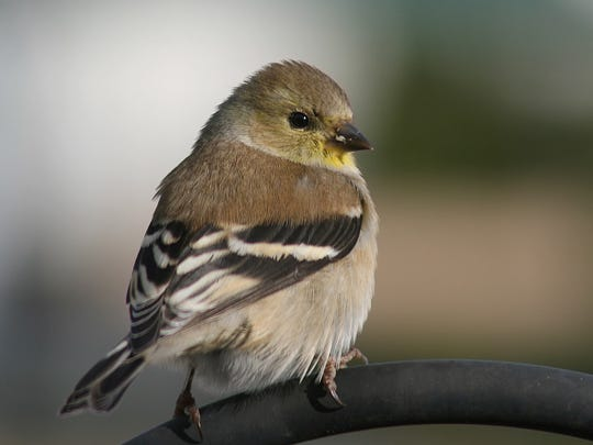American goldfinch in winter plumage. Photo by Glenda