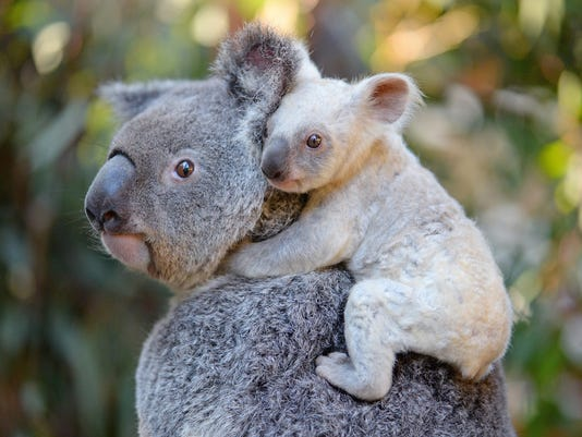 The adorable, rare white koala at the Australia Zoo who needs a name