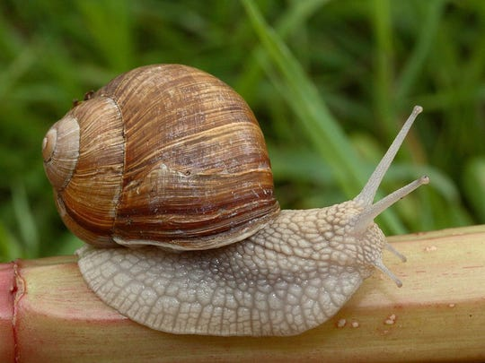 Snails are a lean source of protein and high in vitamins and amino acids