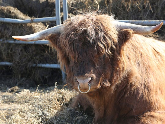 Ale, a 4-year-old Scottish Highlands bull, is shown at home at Fountain Prairie Farm in Fall River, Wis.
