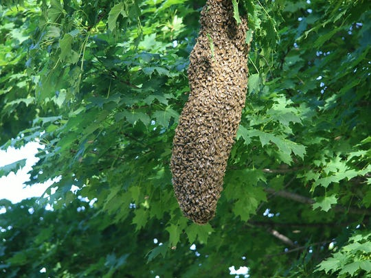 About 100,000 honey bees congregated on a tree at the home of Alfred and Rosalie Otto on Hawthorne Drive. Fond du Lac Fire Dept. Lt. Todd Shippee, who is also a beekeeper, removed them on Saturday, July 12.