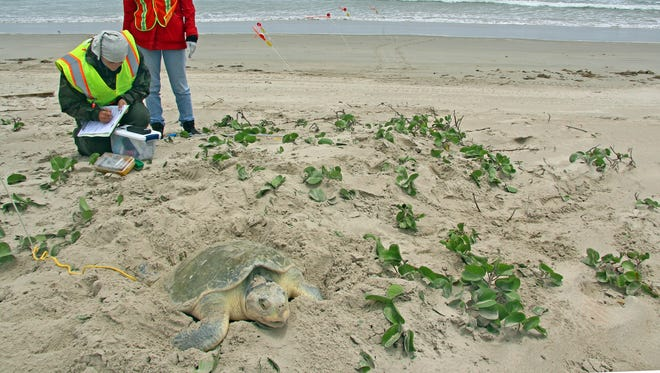 A Kemp's ridley sea turtle nests on Padre Island.