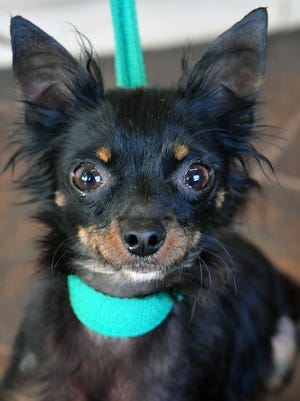 Taco is a 4-year old, black and brown, long-haired Chihuahua. He has been vaccinated, neutered and microchipped. Taco is sweet, playful and would do well in a home without small children. Taco is available for adoption at the Humane Society of Wichita County.