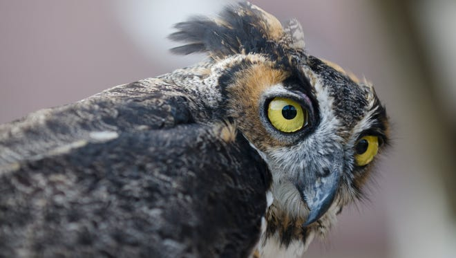 A great horned owl was part of a wild birds educational presentation provided by Wildlife of Wisconsin at the Owl Fest at Woodland Dunes Nature Center and Preserve in Two Rivers in 2015.