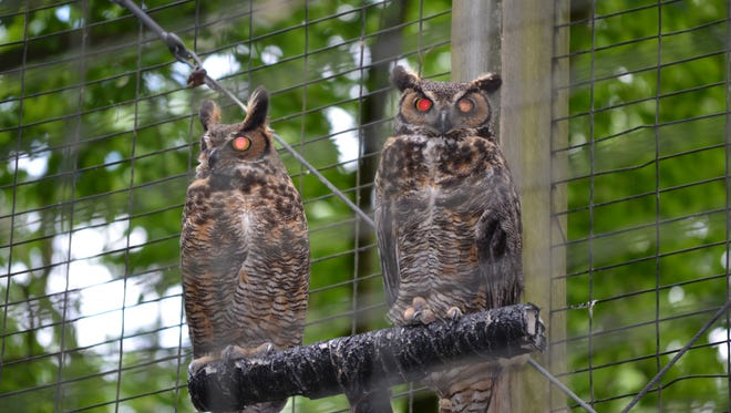 The Great Horned Owls at Cypress Grove Nature Park. Photo courtesy of Keith Wallis