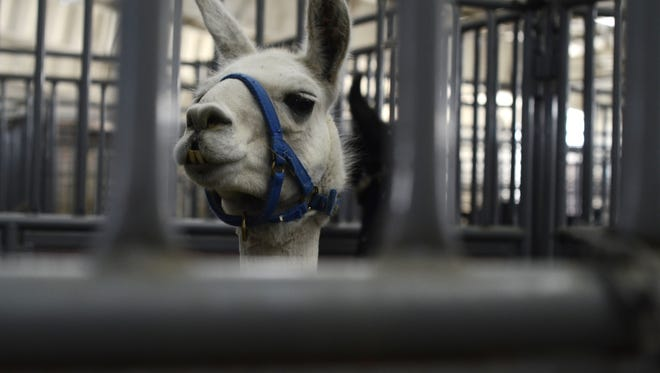 A llama pokes his head over his stall at the Ranch in Loveland in this 2012 file photo.