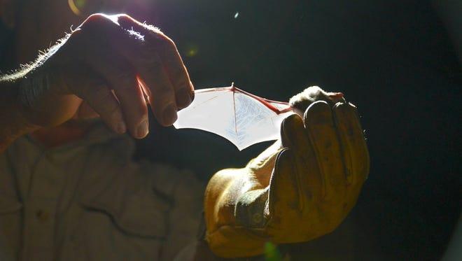 The wing of a cave myotis bat.