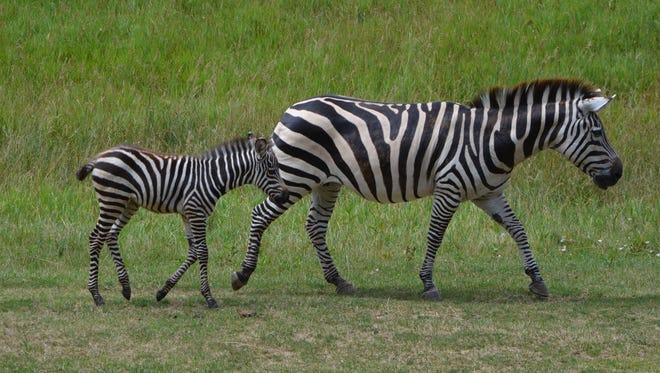 Baby zebra Izzo follows his mom on the Wild Africa savanna at Binder Park Zoo Friday.