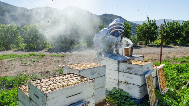"This image by documentary photographer Keri Oberly of Nicole Ulibarri of the Morris Honey Co. in Ojai is included in ""Soil Sisters,"" an exhibit at the Museum of Ventura County's Ag Museum in Santa Paula. It is on view from Sept. 23, 2016 through mid January 2017."