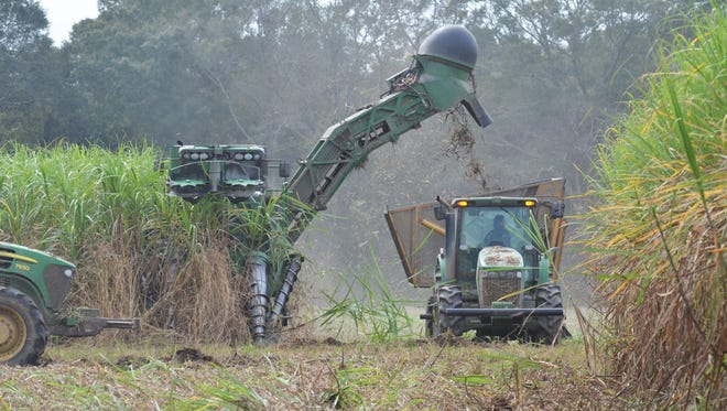 Sugarcane is harvested south of Abbeville on Vallot Farms in October. This year's harvest resulted in unusually high sugar recover, although the tonnage of cane was lighter than expected. Growers are concerned that some plant cane may not survive prolonged flooding in August followed by a drought in the fall. Photo by Bruce Schultz