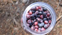 It doesn't matter how delicious they are,  there's a limit to how many berries you can pick in Glacier National Park