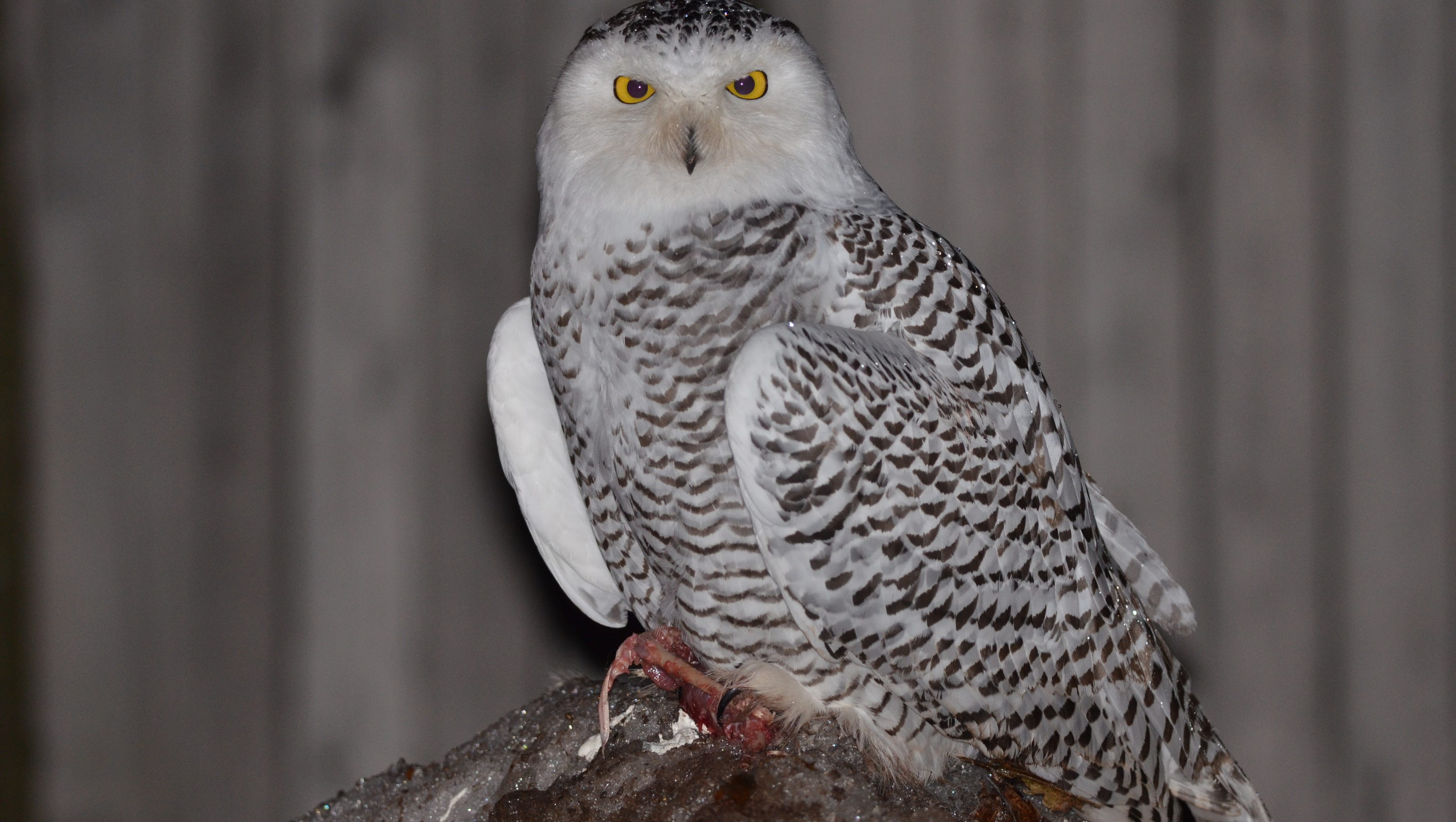 Snowy Owl Irruption Has The Birds All Over Michigan