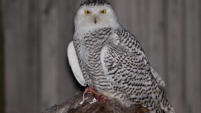 A snowy owl sits on prey, on top of a low snowbank, in a parking lot behind Vango's Restaurant in Marquette on Nov. 24, 2017.