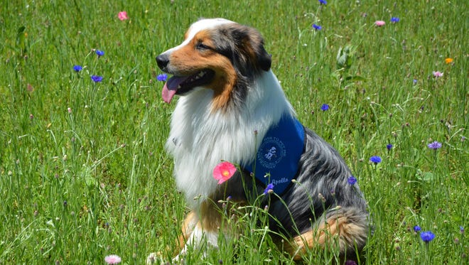 Apollo is a blue merle Australian shepherd pet therapy dog with McLaren Hospice.
